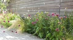 Stipa tenuiisima (siergras) Allium shpaerocephalon + Echinacea purp picca bella