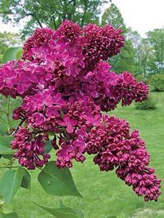 Image result for syringa vulgaris congo