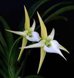 """Angraecum Crestwood; An award winning medium to large orchid to 30""""/90cm in 5 years. Fragrant flowers appear from late spring through summer/early autumn."""