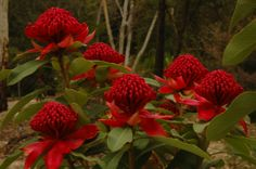 The beautiful Waratah - Telopea speciosissima - floral emblem of New South Wales