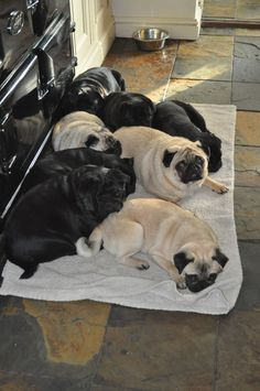 Our eight Pugs