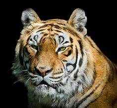 Tiger's portrait by pattoise, via Flickr