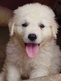 Breed spotlight: The Muvasz image: Kuvasz Puppy I want one!!
