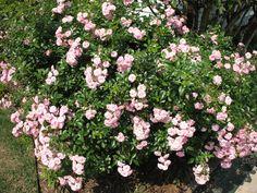 Print Victorian Lady Woman Florist Floral Garland of Roses Rose Blooms Flowers Light Pink Flowers, Plant Guide, Blooming Rose, Floral Garland, Fairy Lights, Faeries, Shrubs, Flower Power, Perennials