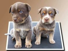 Chocolate cattle dogs.