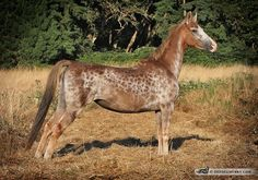 Wing's Sable Sky, a chestnut Saddlebred mare with an unusual reverse dapple roaning pattern.