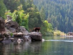 wild bear on the Rogue River