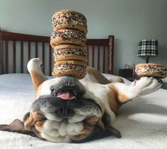 Adorable bulldog Chunky Monkey can stack entire meal on his body   #animal #bulldog #chunkymonkey #dog #exoticpet #funny #funnypics #pet #video