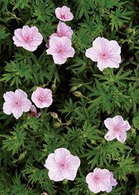 Geranium sanguineum 'Lancastriense' (syn. 'Striatum')
