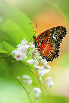 Lacewing Butterfly by ST Saw Photography