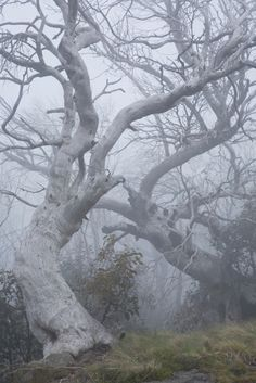 33 Trendy Old Tree Photography Mists Tree Photography, Landscape Photography, Australian Native Garden, Old Trees, Natural World, Belle Photo, Mother Nature, Mists, Photos