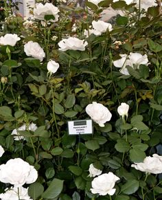 Stunning roses at Chelsea Flower Show 2016