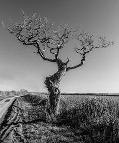 Tree on Shatcombe Lane (Between Eggardon and Wynford Eagle)