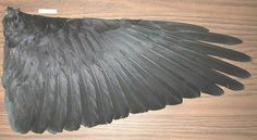 Raven Wing Structure The shape of a bird's wing is