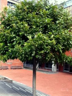 Image result for titoki tree Tree Images, Big Bird, Native Plants, Lawn And Garden, Landscape Design, Sidewalk, Villas, Garden Ideas, Landscaping