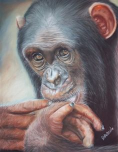 'Pondering Chimp' by Elaine Whiteside. The Pondering Chimp is a favourite piece of mine completed in July this year. The chimp's expression just appeals to the viewer, but what emotions is he portraying? Allow that question to run through your mind as you look deep into his soul. This artwork is 30x40cm, completed in Jaxell soft pastels and FC Pitt Pastel pencils on Claire Fontaine Pastelmat. Based on a photo of the same name by Scotch Macaskill, African Reference Photos. Permission granted.