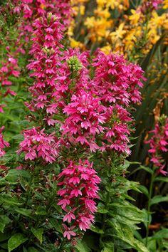 "Cardinal Flower 'Monet Moment'. Lobelia hybrid. 36"" tall. Blooms in July-August."