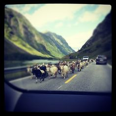 Typical Norway.. sheep wandering the streets in the mountain valley.  User: torel78