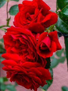 Colorful Roses, Elegant Flowers, Twitter, Plants, Roses, Cute, Plant, Planets