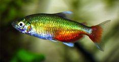 Green Fire Tetra/Aphyocharax Rathbuni (Male, females are larger ... #TropicalFishKeeping