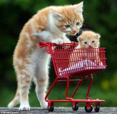 Kitten pushes smaller kitten in a cart.