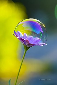 scentdelanature: caught in a bubble | Orchidaaorchid