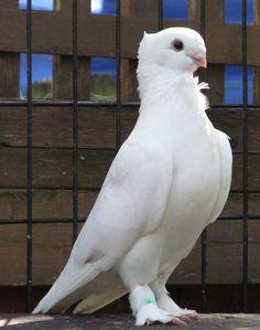 For Fanciers of the Seraphim Pigeon Cute Pigeon, Pigeon Bird, Pigeon Nest, Pretty Birds, Beautiful Birds, Animals Beautiful, Nature Animals, Animals And Pets, Cute Animals