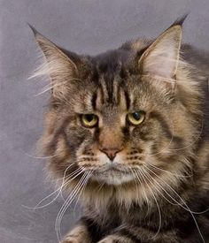 Maine Coon Cat. I love his face! W.Ch.Ais Black Liger Cat (Maine Coon) ~ WorldKittens (~PR~ I just found out that this is Jarvis, a bigger picture of him appears above, by the photographer, naming him. BTW, I think this is a really beautiful Maine Coon!)
