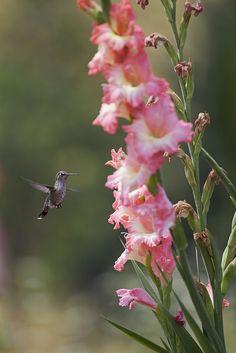 tiny hummingbird approaching Gladiolas