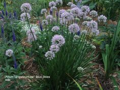 one of my favs is a summer blooming allium - tanguticum var. Blue Skies. (Squirrels don't touch it) The foliage stays lovely all season, it blooms for a good 6 weeks and makes a great cut flower.