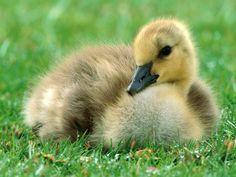 Adorable baby animals - goose