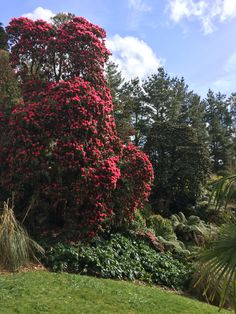 Rhododendron Cornish red (?) at heligan March 2016