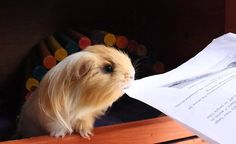 All that homework is kind of a bummer… | The First Day Of School, According To Cute Guinea Pigs