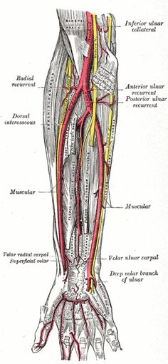 Anatomy of the Human Body. Gross Anatomy, Human Anatomy, Brain Anatomy, Medical Anatomy, Blood Vessels Anatomy, Forearm Anatomy, Forearm Workout At Home, Upper Limb Anatomy, Arteries Anatomy