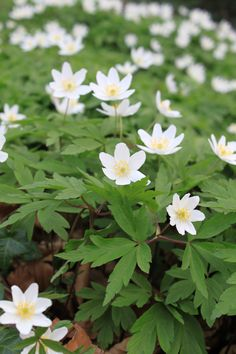 Part-shade plants: Wood Anemone/Anemone nemorosa Woodland Plants, Woodland Flowers, Woodland Garden, Wood Anemone, Anemone Flower, Spring Flowers, White Flowers, Beautiful Flowers, Shade Garden