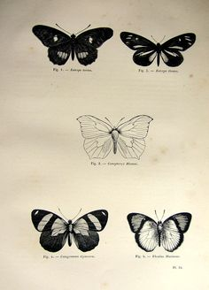1860 vintage moths engraving antique original by lyranebulaprints tatty pinterest - Tatouage papillon de nuit ...