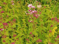 wild marjoram grows well in the Burren in the west of Ireland Rosslyn Chapel, Hidden Places, Spirituality Books, Scotland, Ireland, Meditation, Places To Visit, Author, Earth