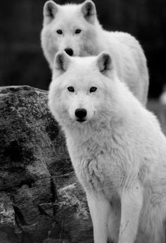 Beautiful White Wolves -