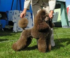 A brown dwarf poodle      (Poodles in Scandinavia)