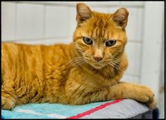 Big orange tabby cats are the always the sweetest that can be and Shiloh is no exception. All he wants is a family to spoil him with lots of love and attention but for nowall he can do is wait. Ab…