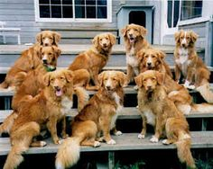 nova scotia duck tolling retriever puppies - Google Search