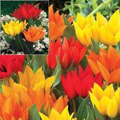 Firespray Tulip Mixture 100 Bulbs for $30