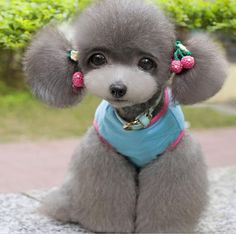2014 New Designed Snoopy Printed Puppy Dog Clothes by Diypetsshop Poodle Hairstyles, Poodle Haircut, Cute Puppies, Dogs And Puppies, Dr Grey, Funny Animals, Cute Animals, Poodle Cuts, Creative Grooming