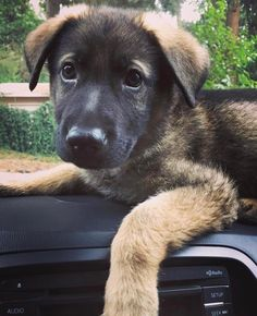 GSD Puppy-Steve