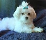 Maltese Puppies for Sale - Bing Images