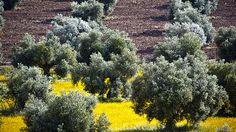 Champs d'oliviers - Prado del Rey - Sierra de Cadiz - Andalousie - Mai 2012