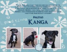 McKinney, TX ~~ I'm Kanga! I am 2 years old and I am a beautiful, black Lab mix. I have a lot of energy so I am looking for a family that (1) likes to play and (2) wouldn't mind taking the time to teach me some basic obedience. I am a smart fella who is curious and friendly. I may even be housetrained!! So, how's about you and me talk it while we play a little bit??  Animal #: 463760 Name: Kanga Sex: Male Age: Approx 2 Years Breed: Lab Mix