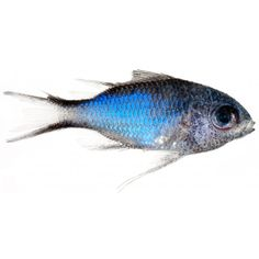 Animal Fish Photo Fish with sky blue body Chromis cyanea (Blue... ❤ liked on Polyvore featuring animals, fish, backgrounds, effects, sea and filler