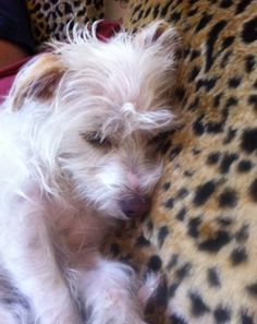 Cairn Terrier And Maltese Mix Puppies Google Search Cairn
