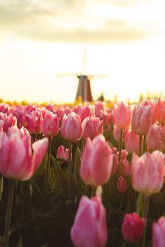 Тюльпаны крупным планом. #весна #Spring